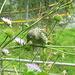 Girlitz (Serinus serinus), Brutvogel in den Taldörfern, so auch in Zinal direkt vor unserer Terrasse.