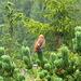 Besuch aus dem Bergwald : Ein Fichtenkreuzschnabel (Loxia curvirostra).