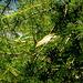 Berglaubsänger (Phylloscopus bonelli). Dieser bergbewohnende Verwandte der häufigen Zilpzalpe und Fitisse ist ständig in Bewegung, teilweise rüttelte dieser Insektenjäger sogar wie ein Turmfalke im freien Luftraum auf der Stelle ! Neben den artkennzeichnenden Rufen und dem Gesang (kurzer Schwirrer) unterscheidet er sich u.a. durch die hier zu sehende helle, weiße Unterseite und die gelb und gelbgrün getönten Flügeldecken und Bürzelbereiche von seiner Verwandtschaft.