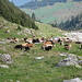 mucche ingombranti........