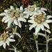 Edelweiss, im Alpstein nur in ausgewählten Teilen anzutreffen.