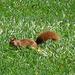 ein emsiges Eichhörnchen huscht durch das Gras