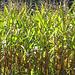 Maisfelder am Wegrand