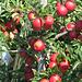 das sind wohl die feinen roten Äpfel, die der Nikolaus bringt