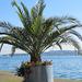Palmen in Überlingen