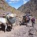 reger Verkehr, ähnlich wie beim Kilimanjaro - nur sind es hier die Maultiere, dort die Träger ...