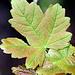 schönes Blatt eines Ahornbaums