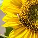 Noch blühen die letzten Sonnenblumen