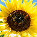Nochmals eine Sonnenblume, kapp 2 m über mir