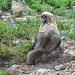 Ein junges, neugieriges Exemplar der Spezies Marmota caligata cascadensis ([http://en.wikipedia.org/wiki/Hoary_marmot Hoary marmot], Eisgraues Murmeltier). Es unterscheidet sich vom Alpenmurmeltier und dem bekannten Waldmurmeltier (Groundhog) durch die Färbung (eisgraues Fell am Rücken und an der Schnauze).
