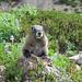 Marmota caligata cascadensis (Eisgraues Murmeltier)