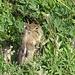 Golden mantled ground squirrel (Callospermophilus lateralis). Es unterscheidet sich vom bekannten Streifenhörnchen (chipmunk) durch die Abwesenheit von Streifen im Gesicht.
