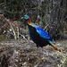 Ein Himalaya-Glanzfasan (es ist ein Männchen; man muss ja gesehen werden!). Er ist der Nationalvogel Nepals und wird häufiger in nepalesischen Liedern erwähnt. Er ist außerdem der Wappenvogel des indischen Bundesstaates Uttarakhand. Das Männchen wird bis zu 70 cm lang und ca. 2,5 kg schwer.