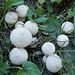 Pitt da lüf (Lycoperdon perlatum)