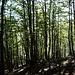 In spätsommerlichem Buchenwald hinunter zur Alpe Borca