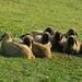 in der Morgenkühle rücken die Schafe zusammen