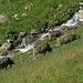 zufriedene Rinder unter der  Chäller-Alp