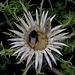 Hummeln und Schmetterlinge haben sich Silberdisteln zur Nachtruhe  ausgesucht