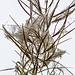 Samenstand eines Schmalblättrichen Weidenröschens