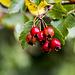 Schnell sind die Früchte des Weißdorns abgetrocknet