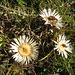 ?????  Questi fiori segnano la meteo: un tempo i pastori li tenevano sotto controllo,nel caso che si metteva al brutto,si chiudevano,segnalando l'arrivo del cattivo tempo. Si chiamano cardi!