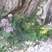 Adenostyles alliarae, Asteraceae e Senecio abrotanifolius,Asteraceae.
