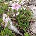 Rhodothamnus chamaecistus, Ericaceae