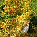 Interessante Alpenflora auf dem Weg zum Wiggis