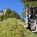 knorrige Bäume - steiles Storegghorn; von der Storegg aus