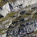 mögliche Aufstiegsroute auf den Zuestoll vom Brisi her (Detail 2) am Fusse des breiten Felsbandes