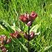 Wunderschönes Exemplar des Purpur-Enzian, Gentiana purpurea