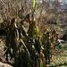 Für Bananen ist selbst das Klima auf der Alpensüdseite noch zu rau. Wenn aber der Boden nicht durchfriert, und so die Wurzeln zerstört werden, treiben sie im Frühjahr wieder neu aus.
