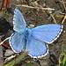Ein blauer Schmetterling, der dem Fotografen viel Geduld abverlangte...