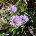 Die Glänzende Skabiose (Scabiosa lucida) ist hier im Herbst öfter anzutreffen