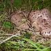Habichtspilz, ein vorzüglicher Würzpilz - verwechseln kann man ihn mit seinem bitteren Doppelgänger, dem Galligen Stachling