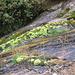 Muschi su una cascatella nei pressi del rifugio Andolla.