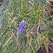 Campanula schneuchzeri, Campanulaceae