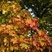 Der Herbst in vollen Zügen - ein Ahorn
