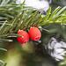 Früchte der Eibe - giftig