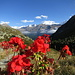 Einfach schön, diese Alpenflora! ;-)