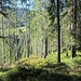 """durch lichten Wald und Heidelbeer-""""Rasen"""" abwärts zum Rossstand"""