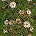 Silberdisteln. Die Alp Sigel ist ein unglaublich schönes Blumenparadies: Gleichermassen wie kaum nirgendwo sonst im Frühling die Enziane zu hunderttausenden spriessen, sind auch die klassischen Herbstblumen in üppiger Fülle vertreten.