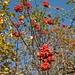 Reife Vogelbeeren (Sorbus aucuparia). Im Gegensatz zur Volksmeinung sind die Beeren ungiftig, sie sind sogar essbar (aber nicht schmackhaft).