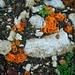 Gewöhnlicher Orangebecherling (Aleuria aurantia) am Wegesrand im Abstieg nach Le Noirmont. Dieser komische Pilz ist sogar essbar!