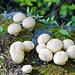 Am Wegrand eine Kolonie von Flaschenbovisten (Lycoperdon perlatum)