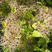 Im Herbst immer wieder schön: Waldrebe(Clematis vitalba)