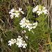 """Finisce l'estate, rimangono solo i fiori """"umili"""", come questa Euphrasia officinalis"""