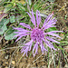 eine Flockenblume am Wegrand