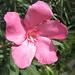 Das sollte eine Rhododendronblüte sein