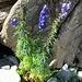 die letzten Blumen wohl hier: Blauer Eisenhut